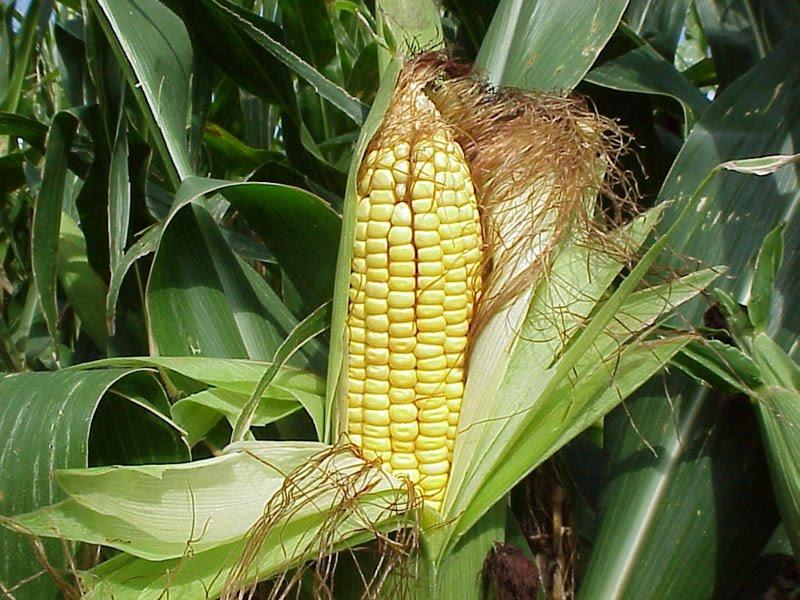 Choclo o ma z dulce como cultivar el huerto de for En cuanto tiempo se cosecha la tilapia