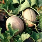 Melon - Huerto de Urbano
