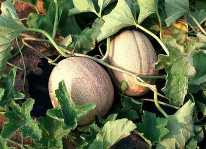 Melon como cultivar el huerto de urbanoel huerto de urbano for En cuanto tiempo se cosecha la tilapia
