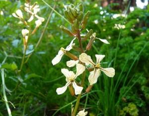 flor de arugula - Huerto de Urbano