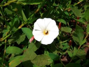 chinita o mariquita en correhuela en flor - Huerto de Urbano