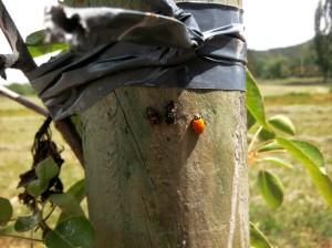 larva ninfa adulto mariquitas o chinitas - Huerto de Urbano