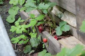 Frutillas en el huerto - Huerto de Urbano