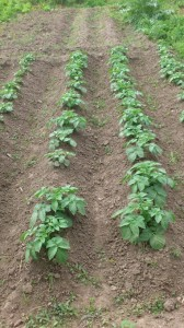 patatas - Huerto de Urbano