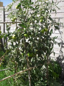 Huerta de Cora - Tomates
